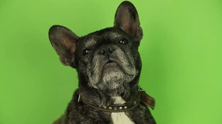 buldog : French Bulldog on a green background