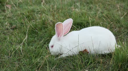coelho : White rabbit eating grass