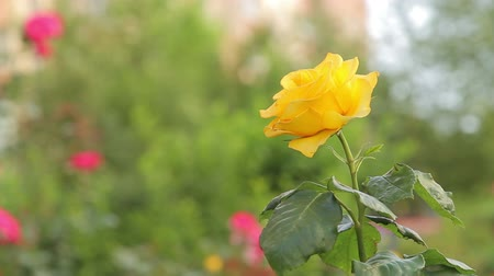 Yellow rose growing in a flower bed  Tracking shot