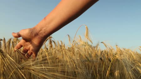 Field of ripe wheat and female  Tracking shot
