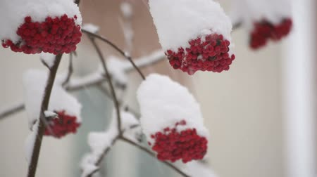 Bunch of mountain ash in the snow