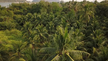 palm oil plantation : Coconut palm plantation beautiful aerial view from drone. 4k  video