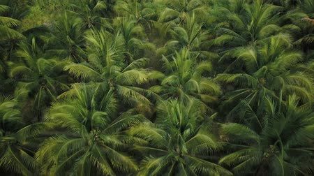 brasil : Coconut palm plantation beautiful aerial view from drone. 4k video Stock Footage