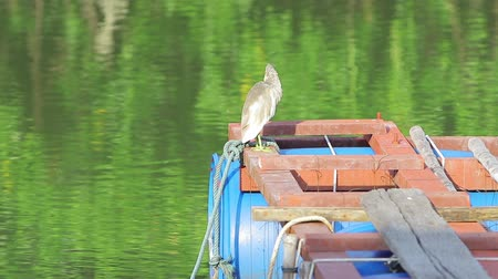 gularis : A little gray heron is fishing from a river on a pier.