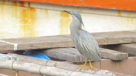 aves : A little gray heron is fishing from a river on a pier. Swallows fish. Close-up.