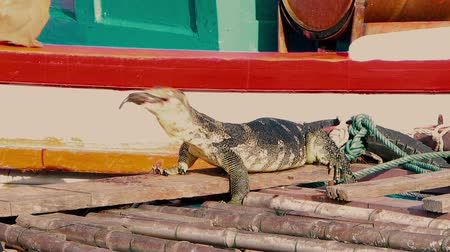 dev : A huge аsian water monitor, Voranus Salvator, Dragon water, lizard eating fresh fish on the pier near the boat.