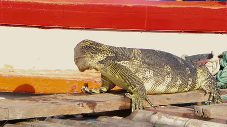 banded : A huge monitor lizard wipes its face after eating on a pier near the boat and dives from the pier into the river. Stock Footage