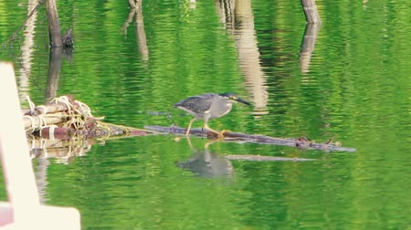 gularis : Little gray heron is fishing on a river and is sitting on a branch. Stock Footage