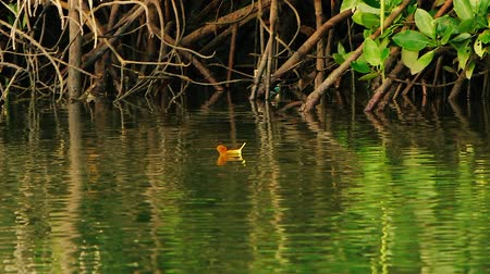 mangue : Ripples on the green water surface and mangrove roots. Yellow leaf floats on the river. The camera pan follows the leaf.