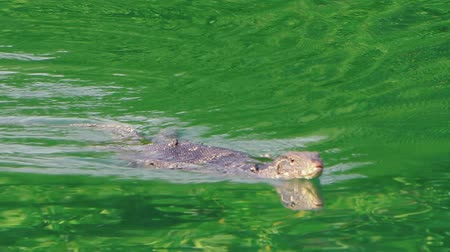 mangue : Asian water monitor from mangrove forests swims in the emerald river.The camera looks at him at zoom