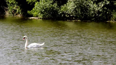zwaan : A swan swims on a pond Stockvideo