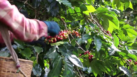 selecionando : farmer hand picking arabica coffee berries in red and green on its branch tree at plantation