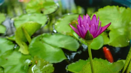 purple lotus blossom in the morning
