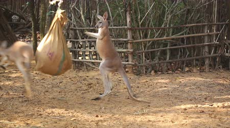 çuval : Boxing kangaroos with sack