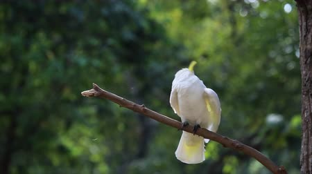 темы животных : Sulphur-crested Cockatoo, Cacatua galerita,with crest up in front of white background