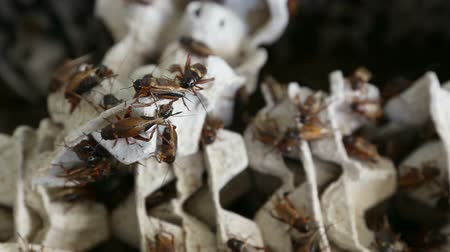 creeping : crickets in industrial farm Stock Footage