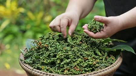 peppercorn : Hand of farmer select bouquet of fresh pepper in wooden basket.