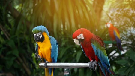 poleiro : Blue and Yellow macaw