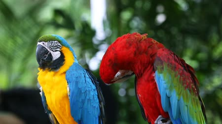 papagaio : Blue and Yellow macaw
