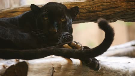 pardus predator : Black panther looking camera.
