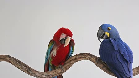 jacinto : Action of scarlet macaw with hyacinth macaw birds playing on branch of tree.
