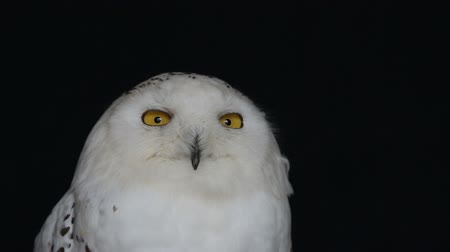 delici : Snowy Owl, Bubo Scandiacus, perched on a post making eye contact with piercing yellow eyes. Light snowfall.isolated on black background.
