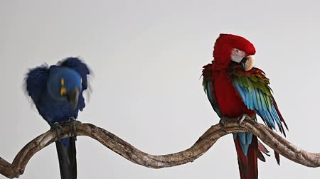 okřídlený : Action of scarlet macaw birds on branch of tree, the beautiful colorful parrot birds isolated on white bakcground.