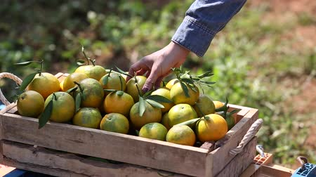 Farmer gathering fresh oranges from tree in the garden. Stock Footage