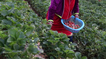 eper : Hand of farmer picking strawberry in garden.