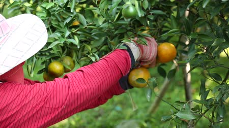 eksport : Farmer harvesting oranges in the garden for export business.