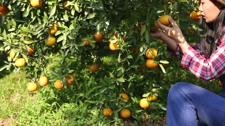 agricultural production : Farmer harvesting oranges in the garden for export business.