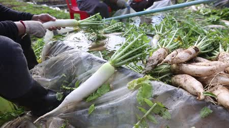 daikon radish : Farmer harvest and cleaning Japanese radish daikon by water in the farmland for export to market.