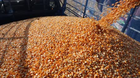 Corn Falling from Combine Auger into Grain Cart. Harvest Time.  Harvested Corn Being Transferred to a Truck.