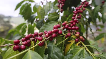 red coffee berry on the branch