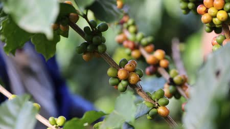 стимулятор : Worker Harvest arabica coffee berries on its branch,Agriculture economy industry business, health food and lifestyle, at the north of Thailand.