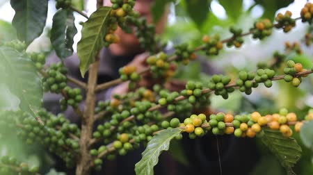 brezilya : Worker Harvest arabica coffee berries on its branch,Agriculture economy industry business, health food and lifestyle, at the north of Thailand.