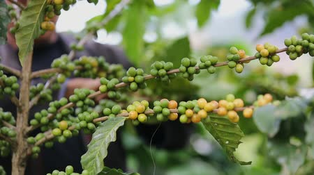 zöld levél : Worker Harvest arabica coffee berries on its branch,Agriculture economy industry business, health food and lifestyle, at the north of Thailand.