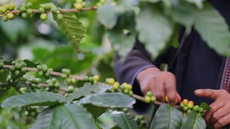 Worker Harvest arabica coffee berries on its branch,Agriculture economy industry business, health food and lifestyle, at the north of Thailand.