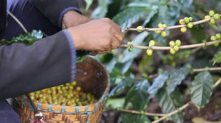 vagens : Worker Harvest arabica coffee berries on its branch,Agriculture economy industry business, health food and lifestyle, at the north of Thailand.
