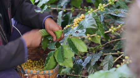 farm in brazil : Worker Harvest arabica coffee berries on its branch,Agriculture economy industry business, health food and lifestyle, at the north of Thailand.