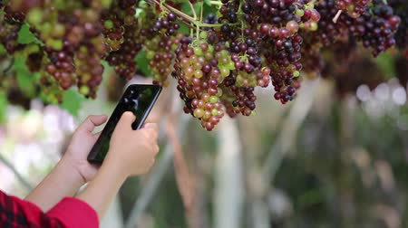 Winemarkers in vine rows checking grapes quality by smart phone.