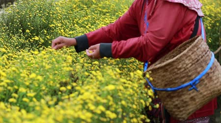 Farmer pick yellow flower Chrysanthemum or Dendranthema indicum L. in the farmland at Chiang Mai Thailand.