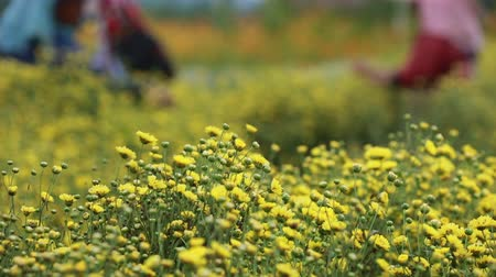 compositae : Farmer pick yellow flower Chrysanthemum or Dendranthema indicum L. in the farmland at Chiang Mai Thailand.