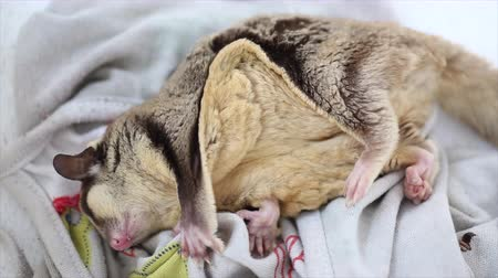 squirrel fur : Cute sugar glider sleep
