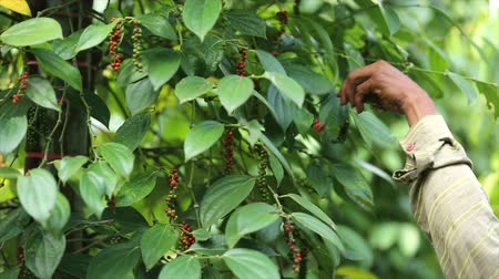 Farmer picking pepper in the farmland is a flowering vine family Piperaceae which is dried used as spice and seasoning dried ground pepper flavour,harvest season.