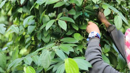 pikantní : Farmer picking pepper in the farmland is a flowering vine family Piperaceae which is dried used as spice and seasoning dried ground pepper flavour,harvest season.