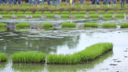 emek : friendship,young farmer planting on the Rice Berry organic paddy rice farmland, Together concept.