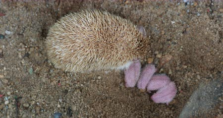 еж : Family  of newborn hedgehog with her mother, baby hedgehog.