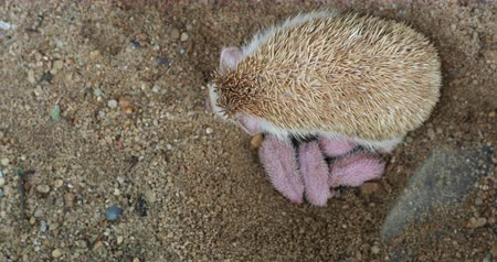 narozený : Family  of newborn hedgehog with her mother, baby hedgehog.