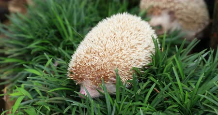 spikes : Hedgehog, (Scientific name: Erinaceus europaeus) European hedgehog in natural garden habitat with green grass.